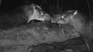 Descubren al mamífero terrestre más grande de las últimas décadas
