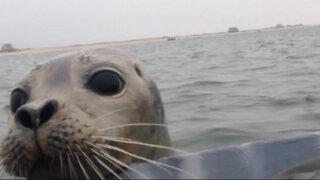 VIDEO: conmovedora acción de foca bebé para evitar que maten a patos