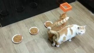 VIDEO: no come ni deja comer, conozca al  gato más egoísta del mundo