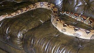 FOTOS: Una mujer alojó en su casa dos meses a una boa constrictor sin saberlo