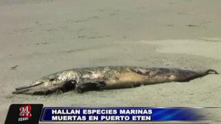 Hallan gran cantidad de especies marinas muertas en playas de Chiclayo