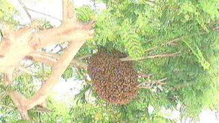 Enjambre de abejas puso en alerta a vecinos del distrito de San Borja