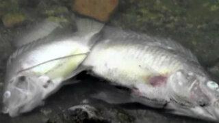 Casi dos toneladas de peces murieron en laguna de La Molina