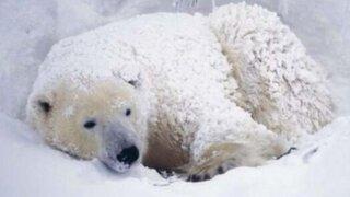 Frío extremo en EEUU: hasta los osos polares se están 'resfriando'
