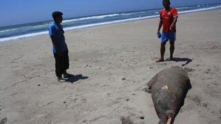 Afirman que pescadores en Piura envenenan a delfines y lobos marinos