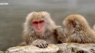 Monos japoneses se protegen del intenso frío bañándose en aguas termales