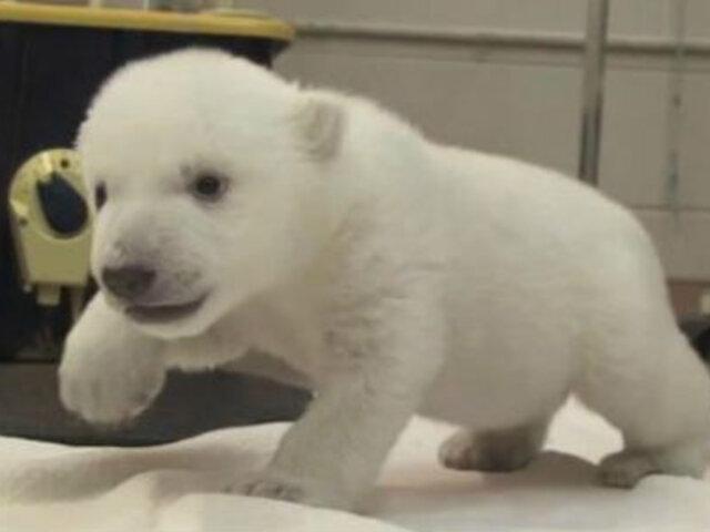Cachorro de oso polar da sus primeros pasos en el zoológico de Canadá