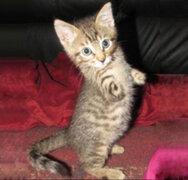 Conoce al gatito de dos patas que causa asombro en las redes sociales