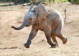 Impactantes imágenes: elefante furioso destroza auto tras ser azotado en un circo
