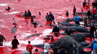 Cientos de delfines y ballenas mueren en horrorosa tradición danesa
