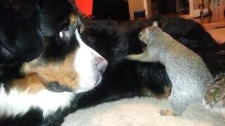 Ardilla busca salvar su nuez escondiéndola en el pelaje de un perro Bernese