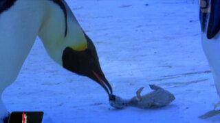 VIDEO: conmovedor llanto de mamá pingüino al ver a su cría muerta y congelada