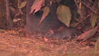 Decenas de ratas invaden calles, parques y tiendas en zona comercial de Lince