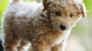 Científicos estadounidenses crean un perro que será cachorro toda su vida