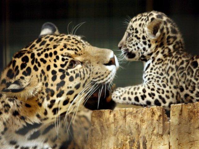 Trabajadora de zoológico pierde brazo tras ser atacada por un jaguar