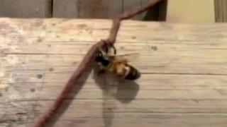 Piura: enjambre de abejas desató el pánico en Asentamiento Humano