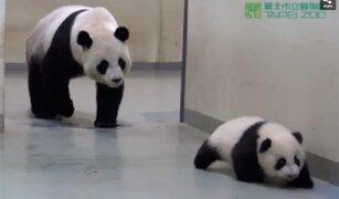 VIDEO: osito panda no quiere dormir y se escapa de su mamá para irse a jugar