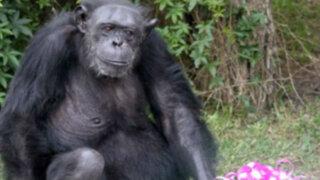Muere chimpancé Karla, una de las más antiguas inquilinas del Parque de las Leyendas