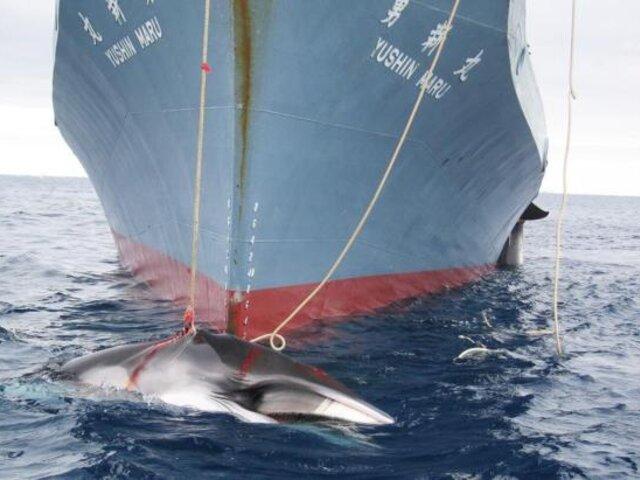 Corte de La Haya ordena a Japón detener caza de ballenas en la Antártida