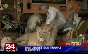 Eslovaquia: hombre tiene dos leones como tiernas mascotas