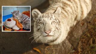 Civa Sumac: primera tigresa de bengala nacida en Perú entrenó nueva 'suite'