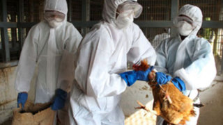 Japón: sacrifican 112 mil gallinas infectadas de gripe aviar H5N1