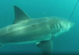 Gigantesco tiburón tan grande como un bus fue capturado en Australia