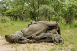 Comer de la planta equivocada: captan a un grupo de elefantes borrachos