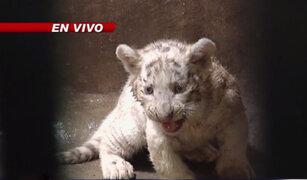 Zoológico de Huachipa presentó a tres tigres blancos nacidos en cautiverio