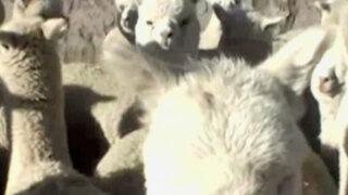 Irresponsable conductor arrolla y mata a 12 alpacas en Cajamarca