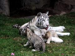 Conoce a los nuevos tigres de bengala del Zoológico de Huachipa