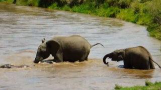 VIDEO: manada de elefantes salvan a cría de morir ahogada en caudaloso río