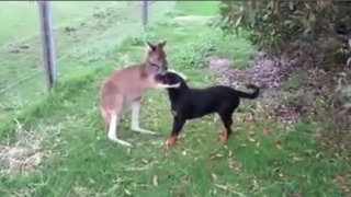 VIDEO: extraña amistad entre canguro y perro causa sensación en Internet