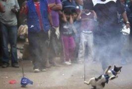 Curruñao: Corte Superior de Cañete prohíbe la 'fiesta del gato'