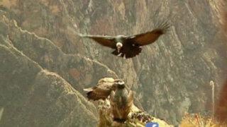 Salvemos a nuestro cóndor andino: el príncipe de los cielos en peligro