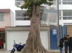 Vecinos de Surco se oponen a tala de un árbol de 50 años