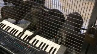 ¿Cómo toca el órgano una nutria? Mira su creatividad musical