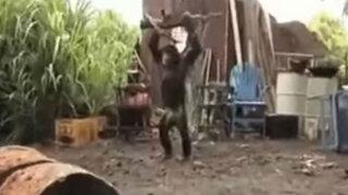 VIDEO: conoce al mono que causó polémica por manipular un arma AK-47