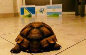 Brasil 2014: la tortuga 'Loly' ya pronostica el resultado del Argentina-Bosnia