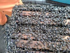 VIDEO: enjambre de abejas ataca a universitarios en Piura