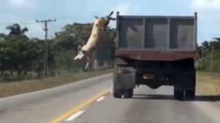 VIDEO: cerdo salta de un camión en movimiento para no ir al matadero