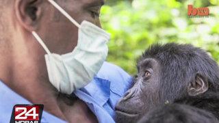 Veterinario decidió dejar su familia para salvar gorilas en África