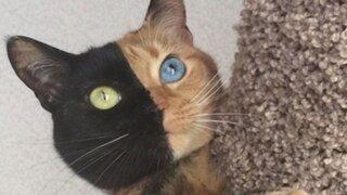 FOTOS: conozca a Venus, la sorprendente gata con dos caras
