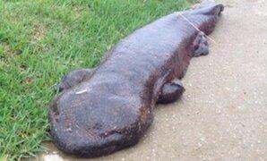 Presunta salamandra gigante en calles de Japón aterrorizó a transeúntes
