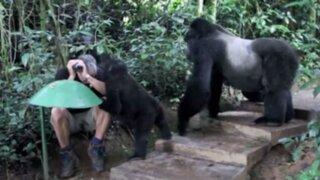 VIDEO: hombre queda completamente inmóvil al ser rodeado por gorilas salvajes
