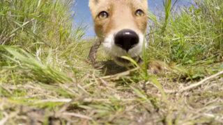 Zorro intentó comerse una cámara GoPro de un investigador en Alaska