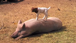 VIDEO: adorable cabra bebé se divierte jugando sobre el lomo de un cerdo