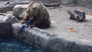 Impresionante: oso salva a un cuervo de morir ahogado en un estanque
