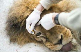 México: rescatan a dos leones abandonados por un circo en Yucatán
