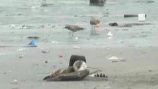 Autoridades hallaron lobos marinos y aves muertas en Chimbote